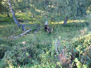 the bull moose I saw on a hike with Jenn